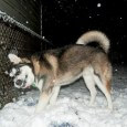 Alaskan sled dogs (often called huskies) are unique in that they are an ad hoc breed–some say type–bred to pull sleds over snow, sans registry, that still exist entirely outside […]
