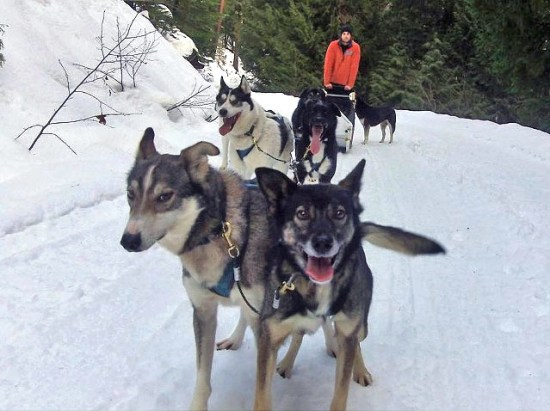 Out of Work Sled Dogs now need Homes. By John French.