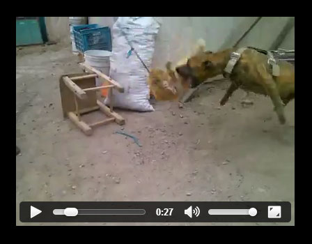 Pit Bull baiting with a cat. Violent, dog kills cat.