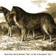 "From Anecdotes of Dogs by Edward Jesse, Esq., 1858 The Colley Or Shepherd's Dog: Hector hears where his master is going, and precedes him ""Hector was quite incapable of performing the same feats […]"