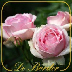 Historische rozen