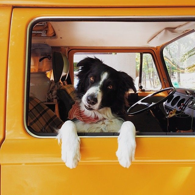Border-Collie-in-car