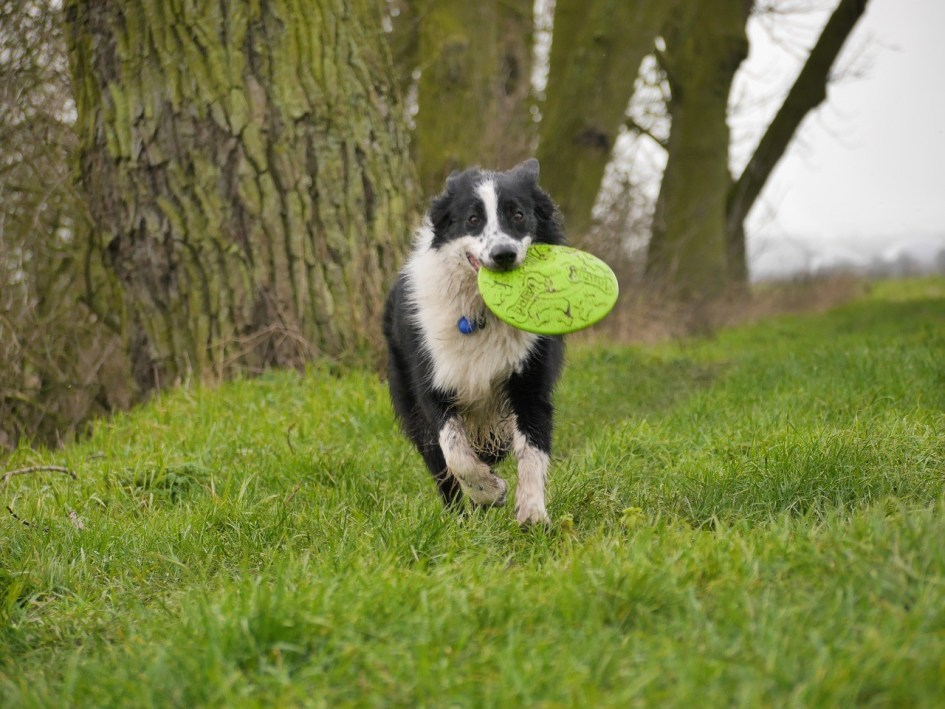 border-collies-how-do-they-catch-those-frisbees-anyway-1