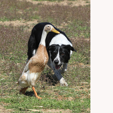 Changes Announced for AKC Herding Events