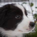 Border Collie Lou - 9 Wochen