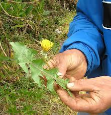 Flores medicinales del Táchira (Documental)