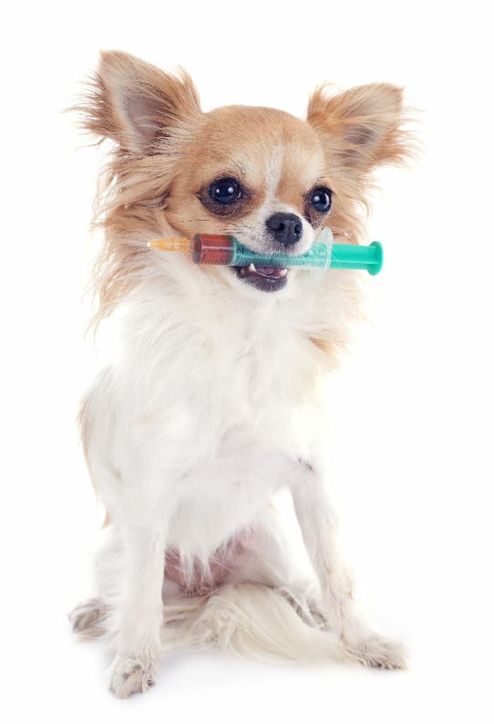 Chihuahua with syringe in mouth