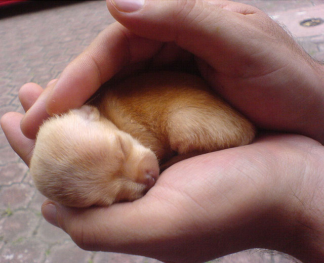 Chihuahua in hands