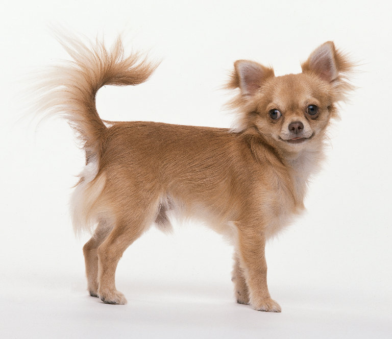 Chihuahua long coat