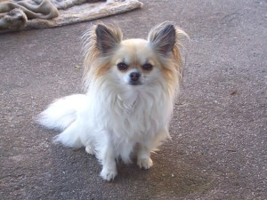 chihuahua long haired
