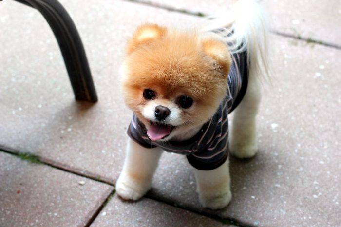 Boo - Probably The Cutest And Most Popular Dog On The Internet