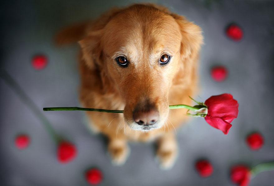 dog-photography-chuppy-golden-retriever-jessica-trinh-9