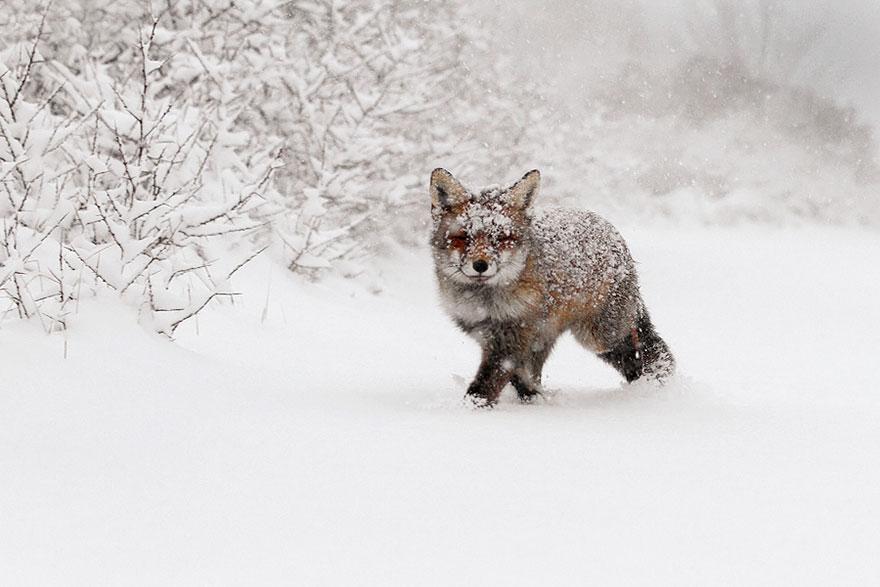 foxes-roeselien-raimond-10