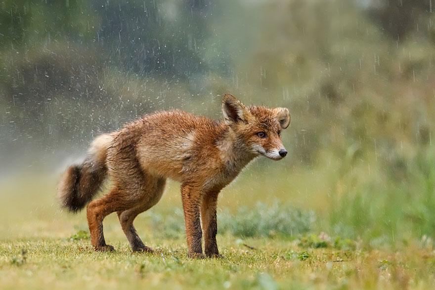 foxes-roeselien-raimond-3-1