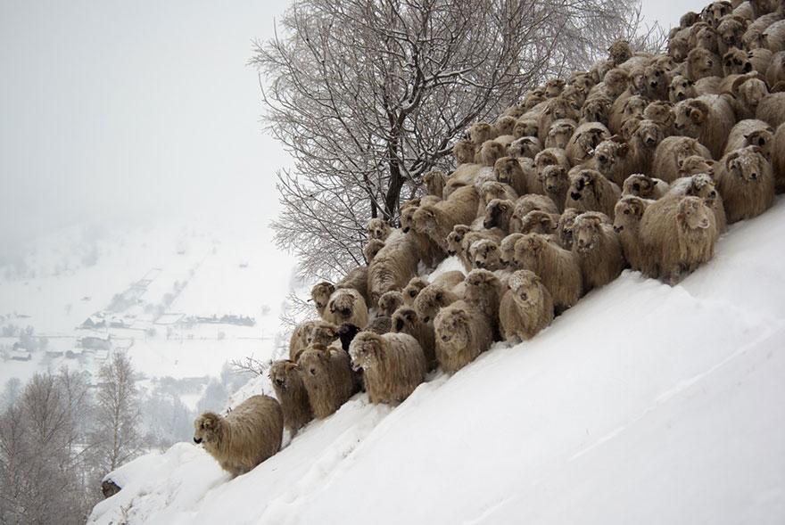 sheep-herds-around-the-world-21