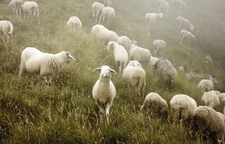 sheep-herds-around-the-world-52