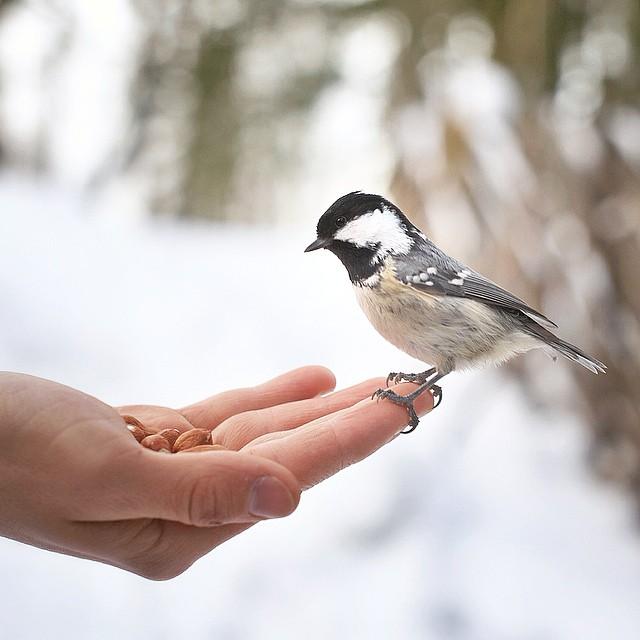 fotos-alimentando-animales-salvajes-finlandia-konsta-punkka (14)