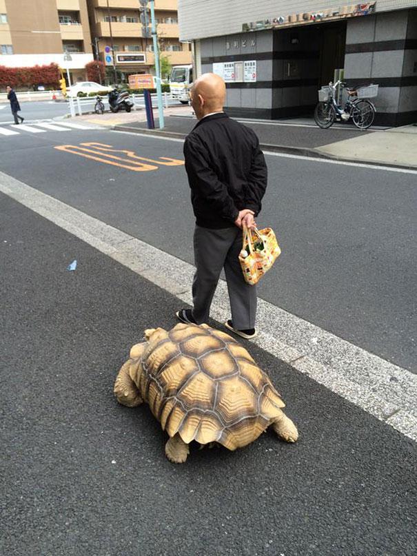 anciano-paseando-tortuga-sulcata-tokio-japon (4)