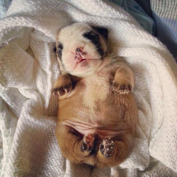fotos-cachorros-bulldog (17)