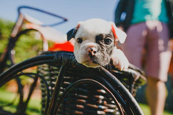 fotos-cachorros-bulldog (2)