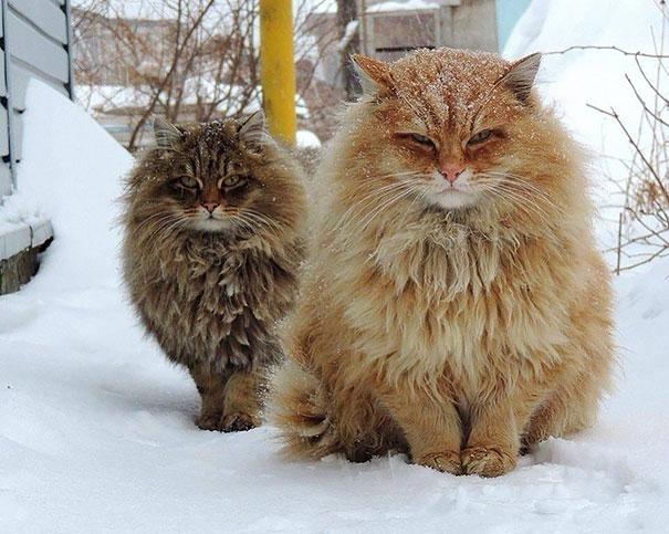 gatos-enormes (15)