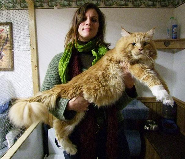 gatos-enormes (3)