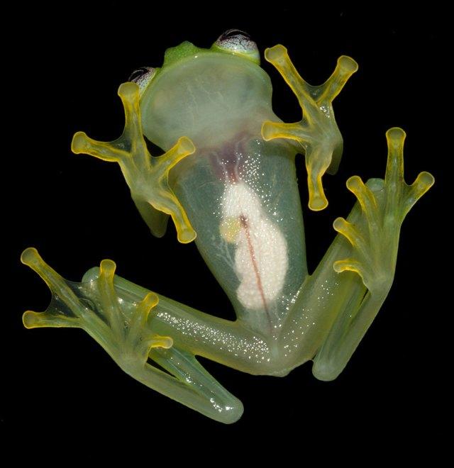 parecido-gustavo-rene-descubierta-rana-vidrio-diane-costa-rica (2)