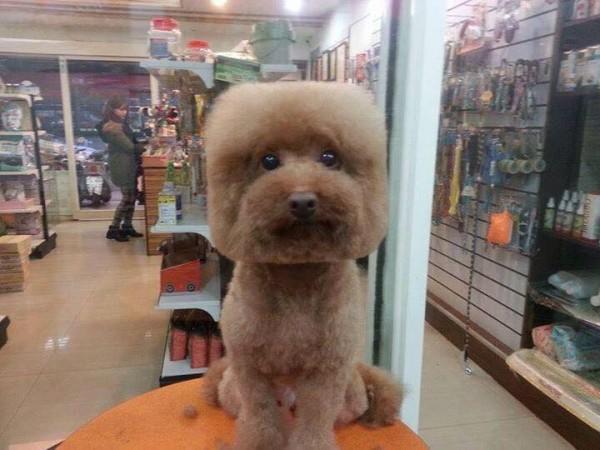 perros-corte-pelo-redondo-cuadrado-taiwan (5)