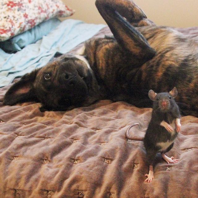 amistad-animal-riff-rata-osiris-perro (11)