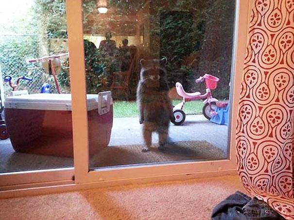 animales-pidiendo-entrar (20)