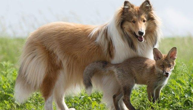 cria-zorro-huerfano-dinozzo-adoptado-perro-ziva (2)