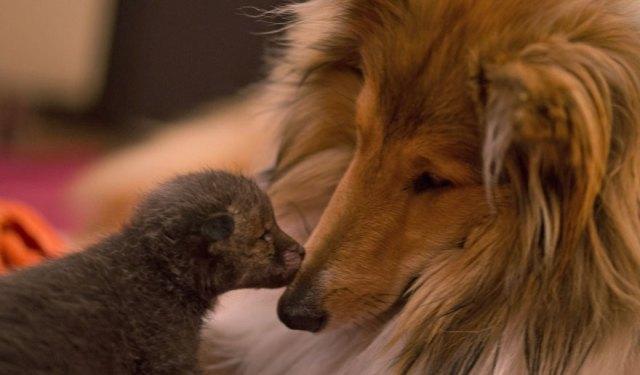 cria-zorro-huerfano-dinozzo-adoptado-perro-ziva (3)