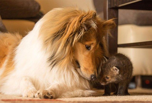 cria-zorro-huerfano-dinozzo-adoptado-perro-ziva (5)