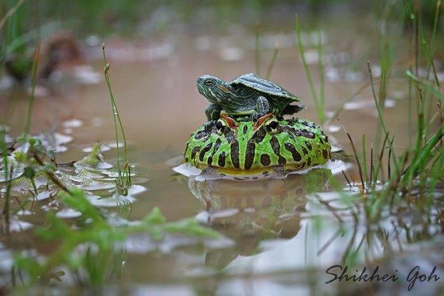 fotos-curiosas-ranas-anfibios (10)