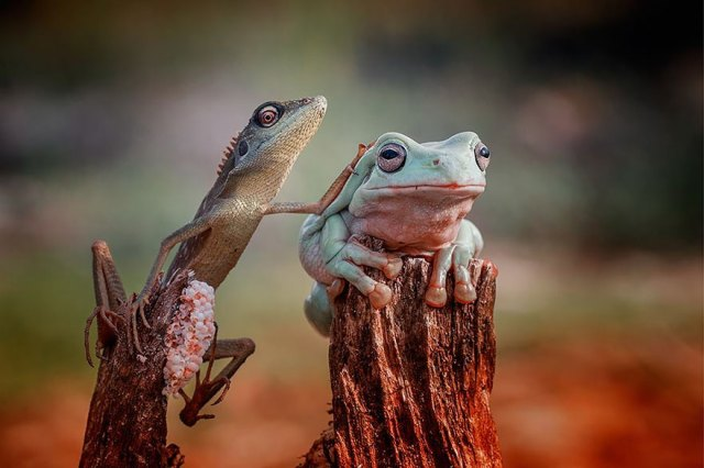 fotos-curiosas-ranas-anfibios (8)