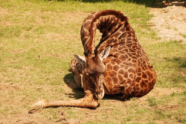 jirafas-durmiendo (1)