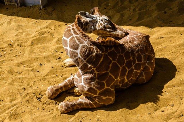 jirafas-durmiendo (11)
