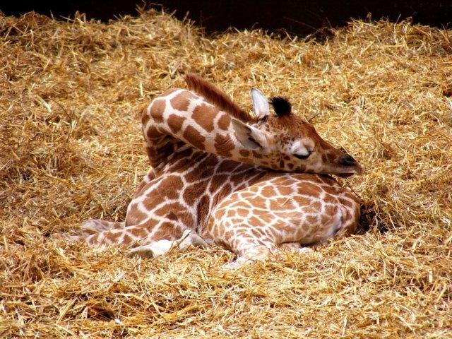 jirafas-durmiendo (12)