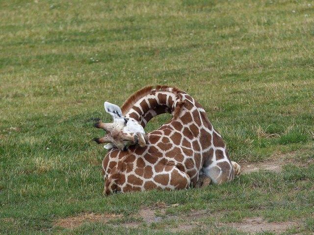 jirafas-durmiendo (5)