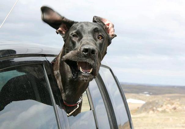 perros-disfrutando-viaje-coche (8)