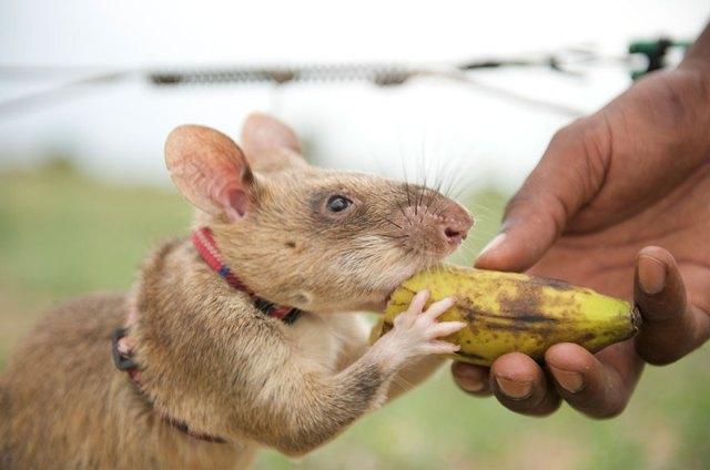 ratas-heroicas-detectoras-minas-apopo-africa (13)
