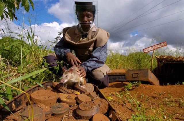 ratas-heroicas-detectoras-minas-apopo-africa (5)
