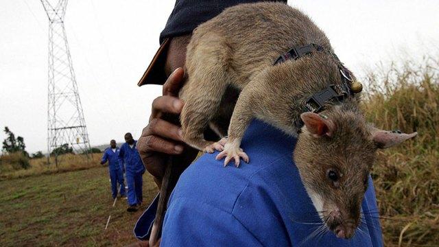 ratas-heroicas-detectoras-minas-apopo-africa (7)