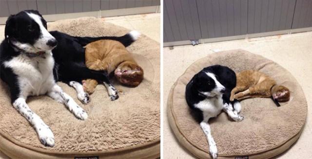 russel-gato-superviviente-cuida-animales-hospital (6)
