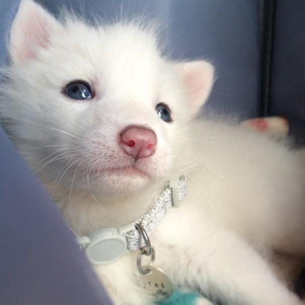 rylai-zorro-rojo-siberiano-domesticado-mascota (9)