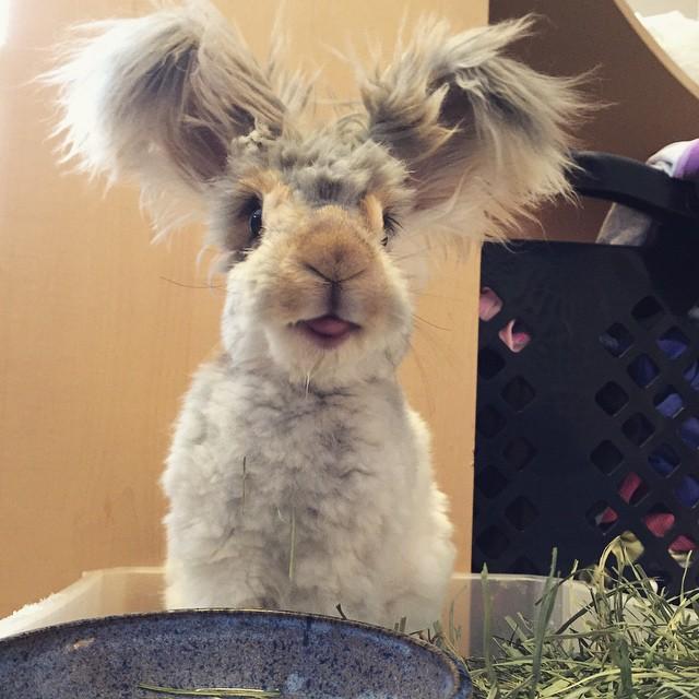 corte-pelo-orejas-conejo-angora-wally (6)