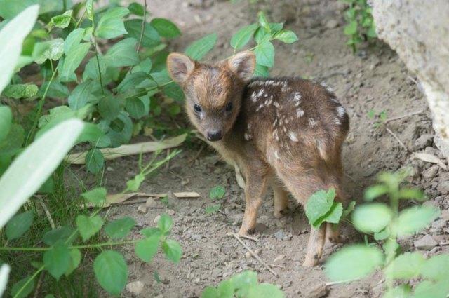 cria-ciervo-pudu-diminuto-zoo-queens (1)