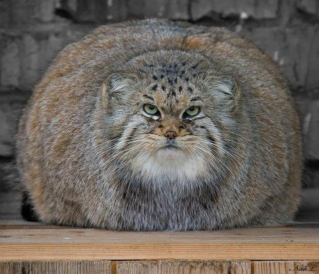 gato-pallas-manul (12)