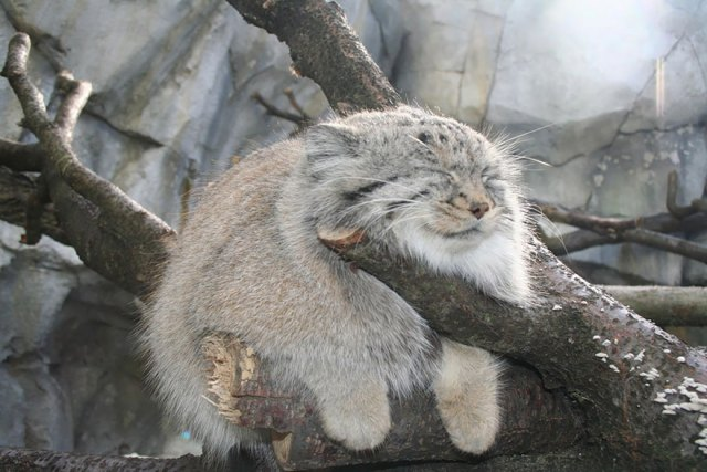 gato-pallas-manul (13)