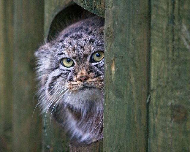 gato-pallas-manul (16)